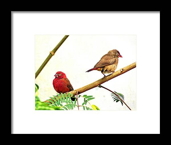 Birds Framed Print featuring the photograph Pair Of Red-billed Firefinches by Tony Murtagh