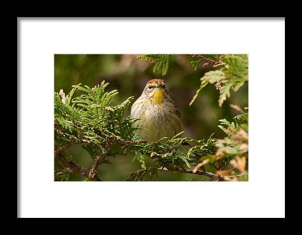 Bird Framed Print featuring the photograph Palm Warbler by Richard Kitchen