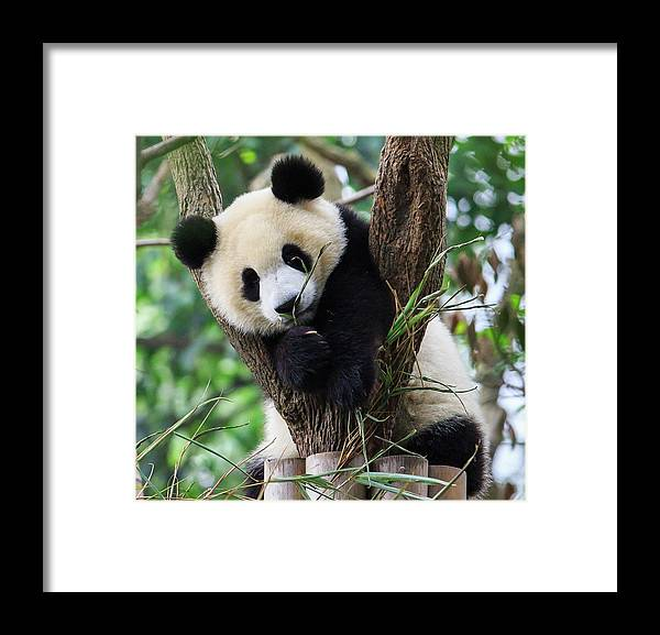 Panda Framed Print featuring the photograph Panda Cub Resting On Tree by Feng Wei Photography