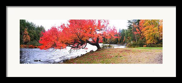 Light Framed Print featuring the photograph Panorama Of Red Maple Tree, Muskoka by Henry Lin
