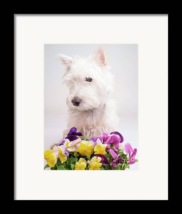 Flower Framed Print featuring the photograph Pansies by Edward Fielding