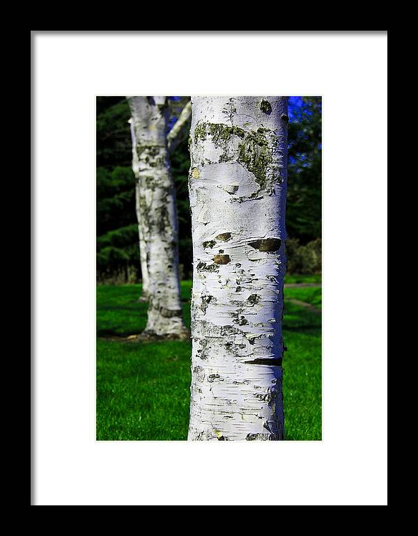 Paper Birch Framed Print featuring the photograph Paper Birch Trees by Aaron Berg