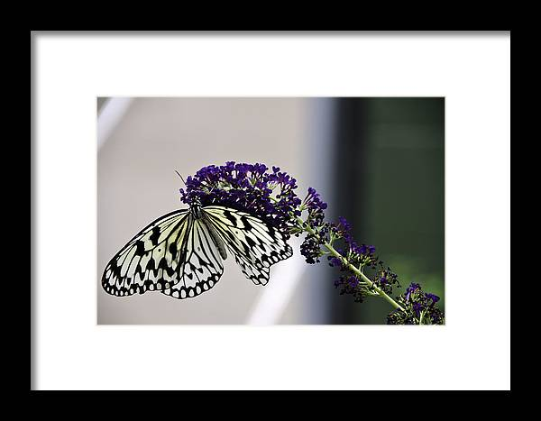 Butterfly Framed Print featuring the photograph Paper Kite by Brian Blakesley