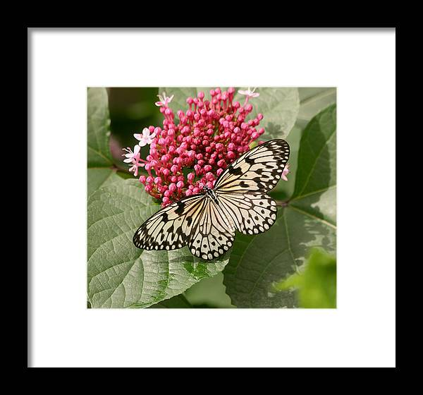 Butterfly Framed Print featuring the photograph Paper Kite Butterfly by Kim Hojnacki