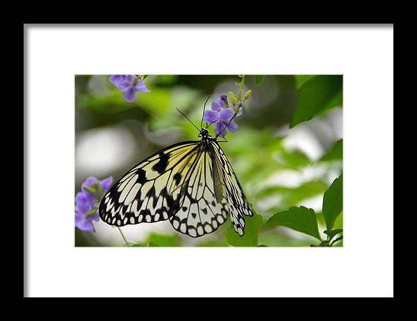 Nature Framed Print featuring the photograph Paper Kite Idea leuconoe 2 by David Earl Johnson