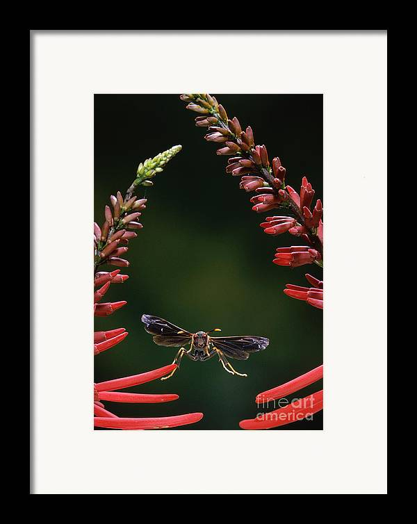 Animal Framed Print featuring the photograph Paper Wasp In Flight by Stephen Dalton
