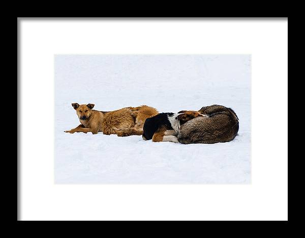 Animal Framed Print featuring the photograph Pariah Dogs On The Snow - Featured 2 by Alexander Senin