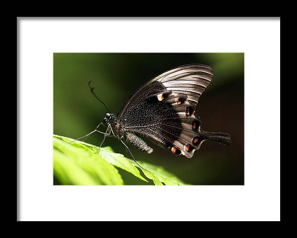 Butterfly Framed Print featuring the photograph Paris Peacock by Grant Glendinning