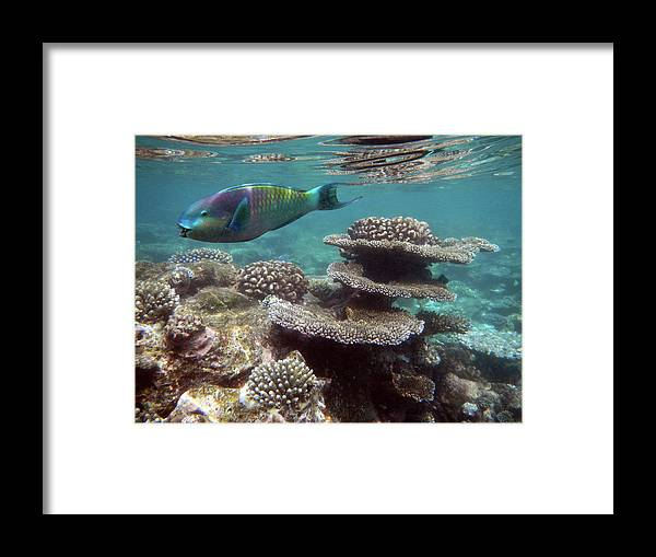 Underwater Framed Print featuring the photograph Parrotfish On The Barrier Reef At by Federica Grassi