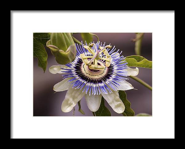Passion Flower Framed Print featuring the photograph Passiflora Caerulea by Caitlyn Grasso