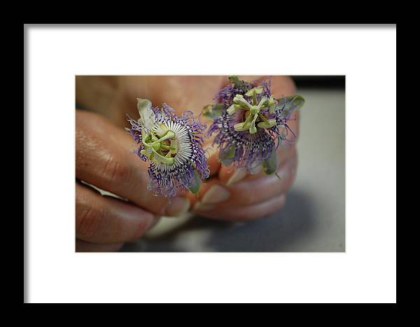 Passion Framed Print featuring the photograph Passion Flower 2 by Nicole Berna