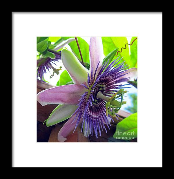Flower Framed Print featuring the photograph Passion Flower by Tina M Wenger