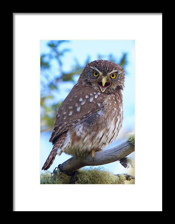 Chile Framed Print featuring the photograph Patagonia Pygmy Owl by David Beebe