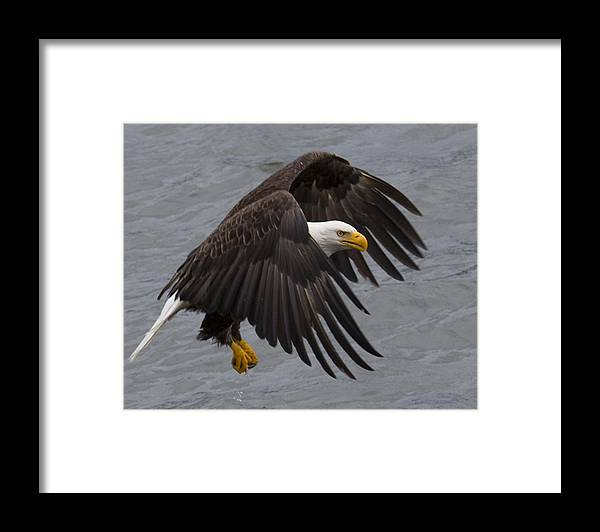 Bald Framed Print featuring the photograph Patience by Mike Taddeo