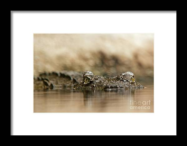 Crocodile Framed Print featuring the photograph Pay Attention by Christine Sponchia