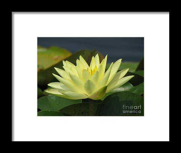 Lillies Framed Print featuring the photograph Peace by Amanda Barcon