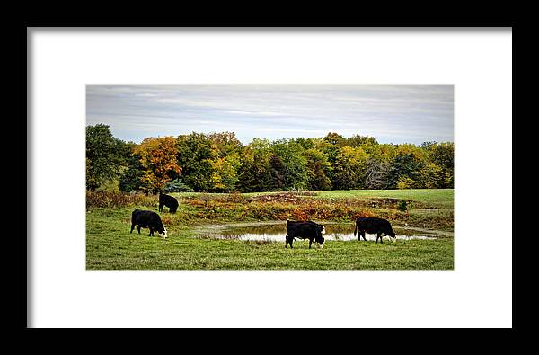 Cow Framed Print featuring the photograph Peaceful Pastures by Cricket Hackmann