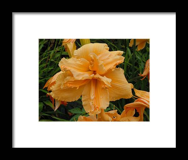 Daylily Framed Print featuring the photograph Peachy Keen by Jean Blackmer