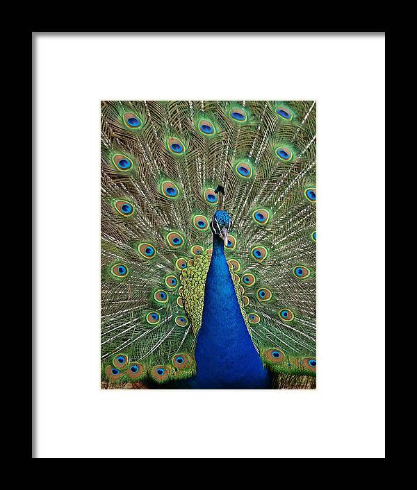 Peacock Framed Print featuring the photograph Peacock Blue by Michaela Perryman