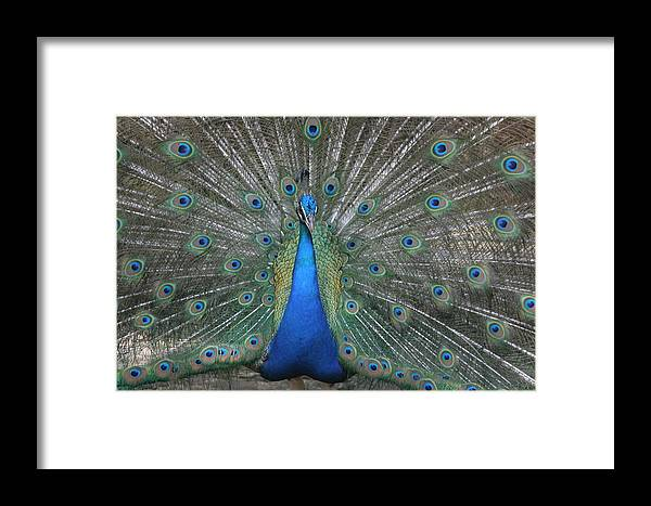 Bird Framed Print featuring the photograph Peacock by Dervent Wiltshire