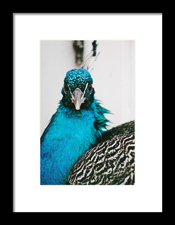 Bird Framed Print featuring the photograph Peacock Front View by Pati Photography