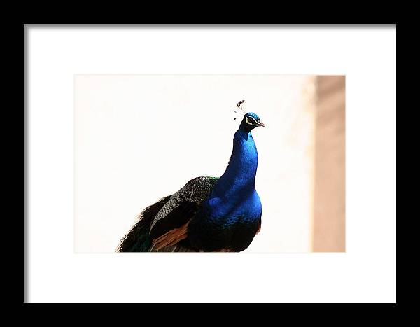 Animal Framed Print featuring the photograph Peacock I by T Reich
