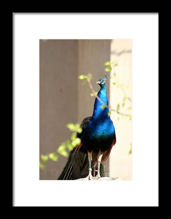 Animal Framed Print featuring the photograph Peacock II by T Reich