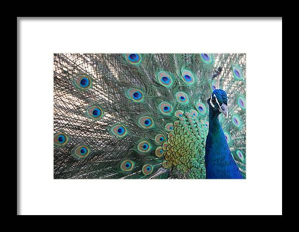 Peacock Framed Print featuring the photograph Peacock by Kendell Timmers