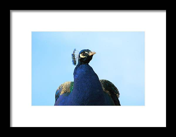 Colorful Framed Print featuring the photograph Peacock. by Oscar Williams