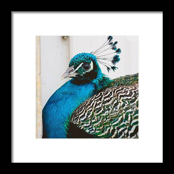 Bird Framed Print featuring the photograph Peacock Square by Pati Photography