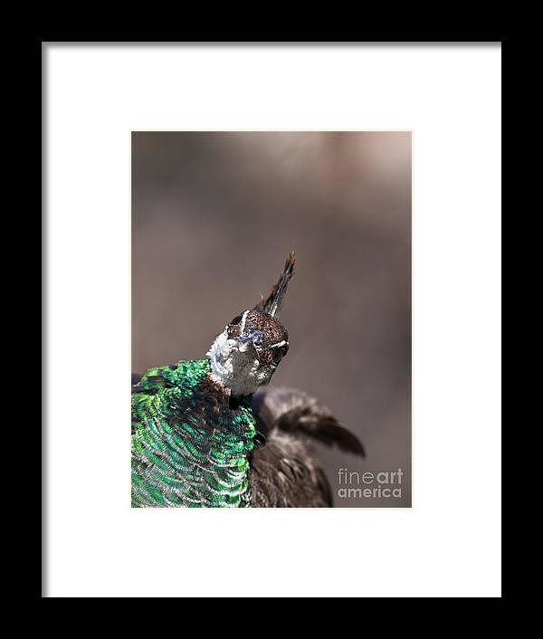 Animal Framed Print featuring the photograph Peahen Takes A Selfie by Brandon Alms