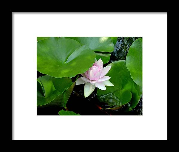 Water Lily Framed Print featuring the photograph Peeking Out by Suzanne Gaff