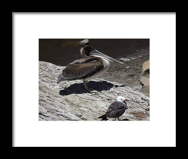 Framed Print featuring the photograph Pelican And Gull by Randy Esson