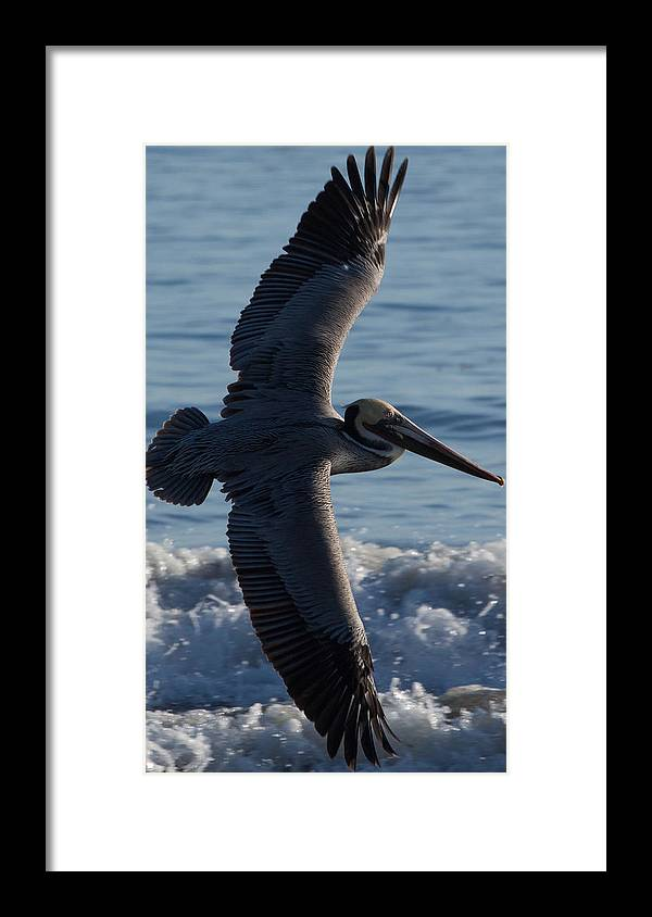 Pelican Framed Print featuring the photograph Pelican Flight by John Daly