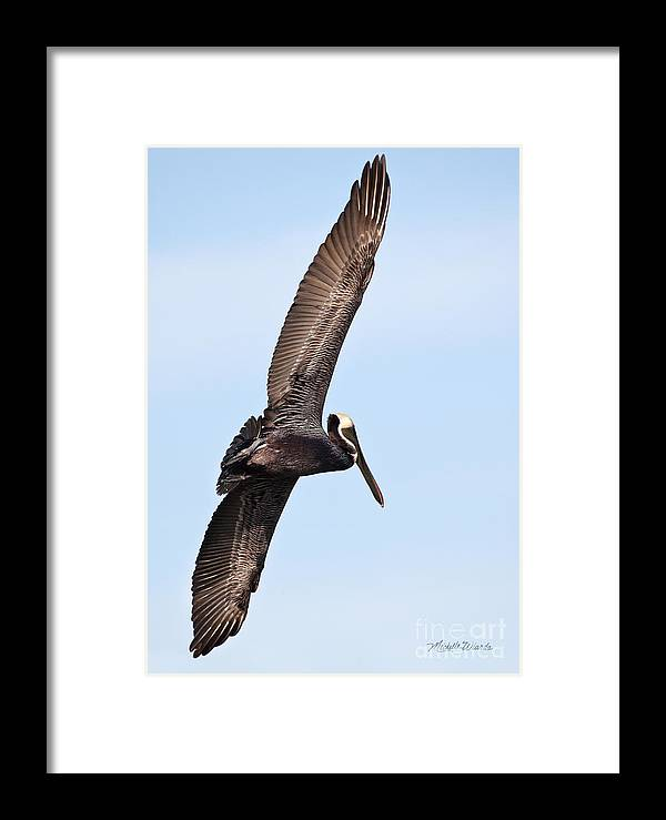 Pelican In Flight Framed Print featuring the photograph Pelican In Flight by Michelle Constantine