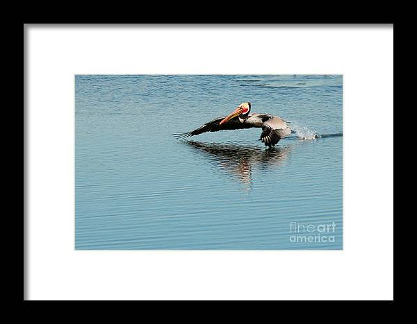 Bird Framed Print featuring the photograph Pelican In Motion by Phil Huettner