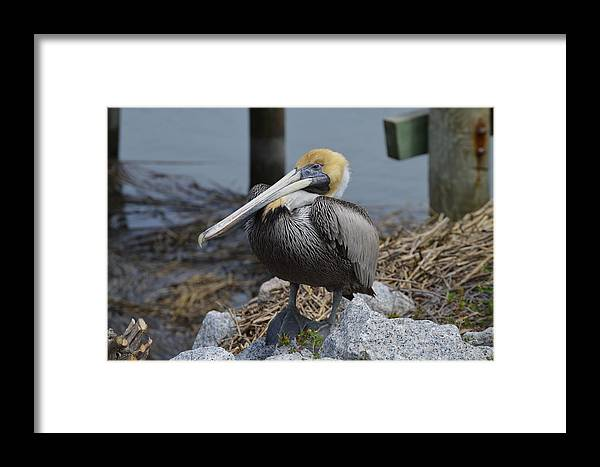 Wildlife Framed Print featuring the photograph Pelican On Rocks by Judith Morris
