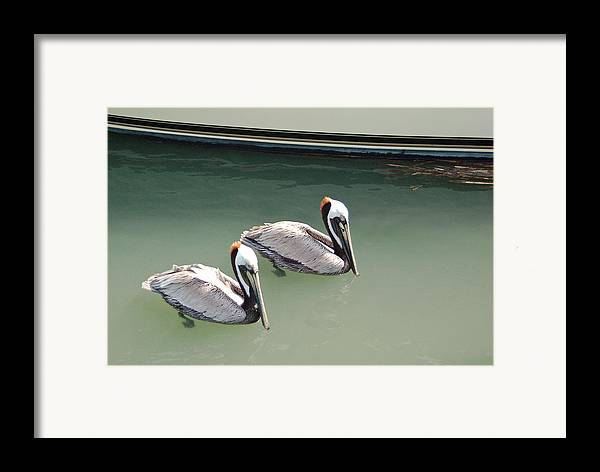 Brown Pelican Framed Print featuring the photograph Pelicans Partners by Suzanne Gaff