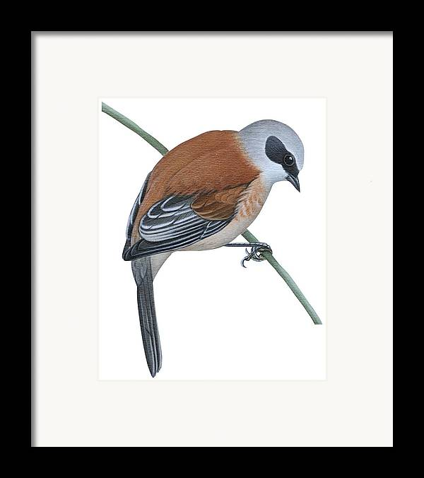 No People; Vertical; Side View; Full Length; One Person; One Animal; Animal Themes; Nature; Wildlife; Beauty In Nature; Simplicity; Uline Tit; Remiz Pendulinus; Twig; Perching Framed Print featuring the drawing Penduline Tit by Anonymous