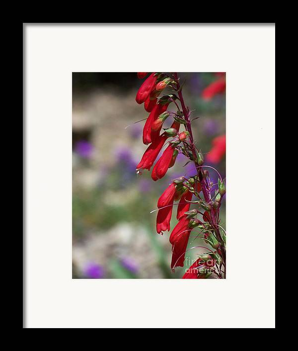 Flowers Framed Print featuring the photograph Penstemon by Kathy McClure