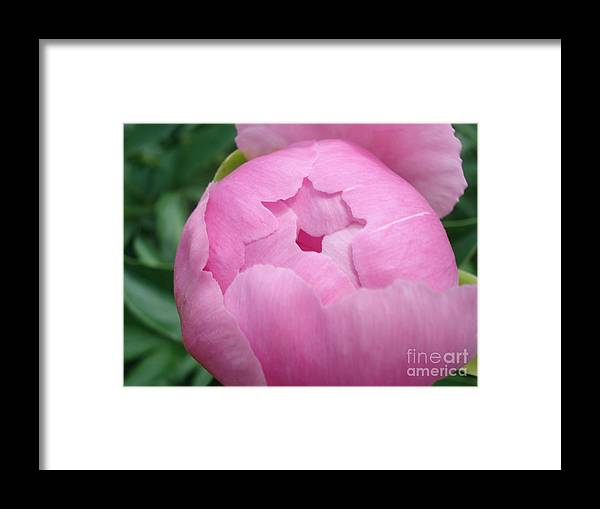 Peony Framed Print featuring the painting Peony Unveiling by Kim Heil
