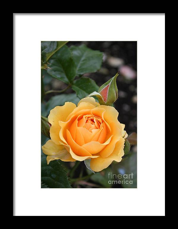Rose Framed Print featuring the photograph Perfect Rose by Christiane Schulze Art And Photography