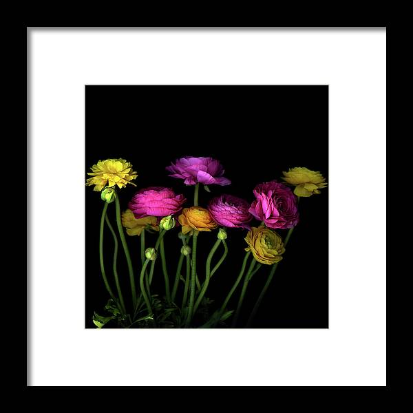 Black Background Framed Print featuring the photograph Persian Buttercups Ranunculus Asiaticus by Photograph By Magda Indigo