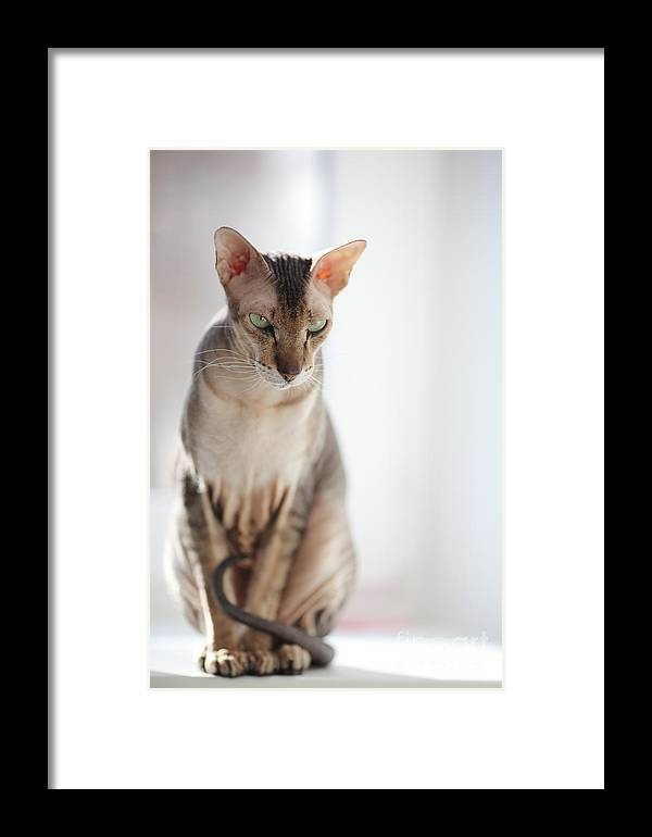 Cat Framed Print featuring the photograph Peterbald Sphynx Cat by Konstantin Sutyagin