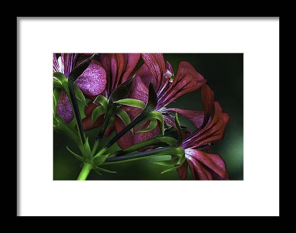 Flower Framed Print featuring the photograph Petunia by Christine Czernin-Morzin