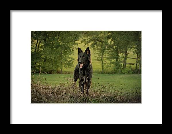 German Shepherd Framed Print featuring the photograph Phoenix - Early Evening by Sandy Keeton