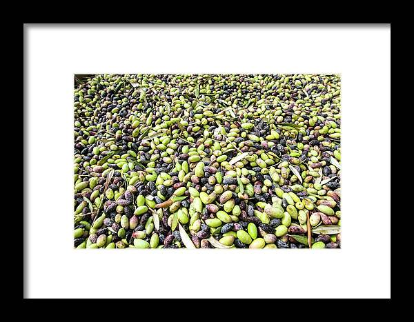 Pick Framed Print featuring the photograph Picking Olives by Photostock-israel
