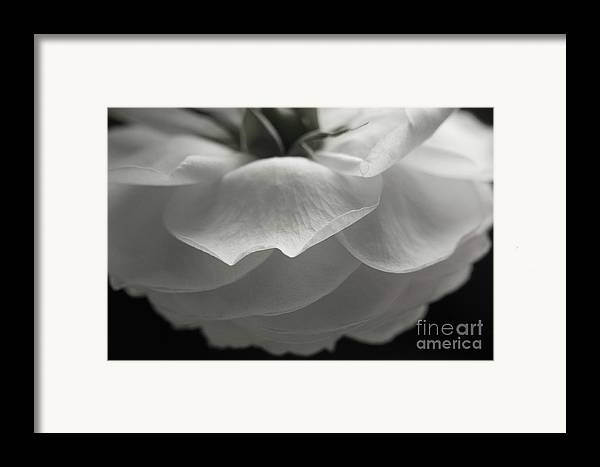 Nature Framed Print featuring the photograph Pierre De Ronsard Rose by Julia Hiebaum