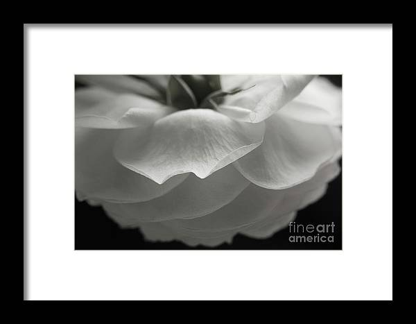 Nature Framed Print featuring the photograph Pierre De Ronsard Rose by Julia Hiebaum