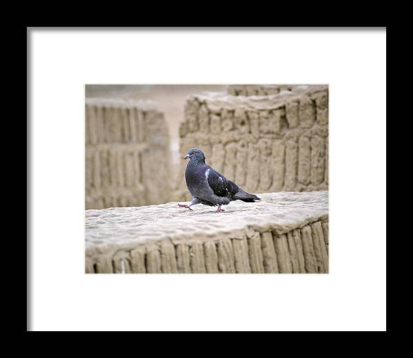 Pigeon Framed Print featuring the photograph Pigeon At Huaca Pucllana In Lima Peru by Jared Bendis